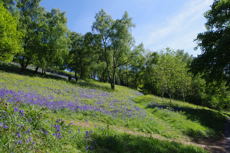 Bluebells and hillside trees, Malvern.jpg