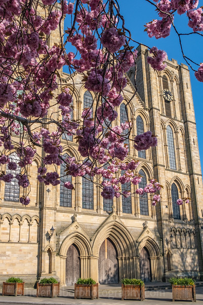 Ripon Cathedral & cherry blossom-52.jpg