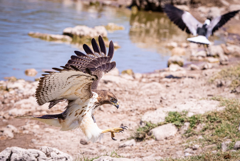 Immature Brown snake eagle (Circaetus cinereus) comes into land Klein Okevi waterhole, Etosha National Park, Namibia