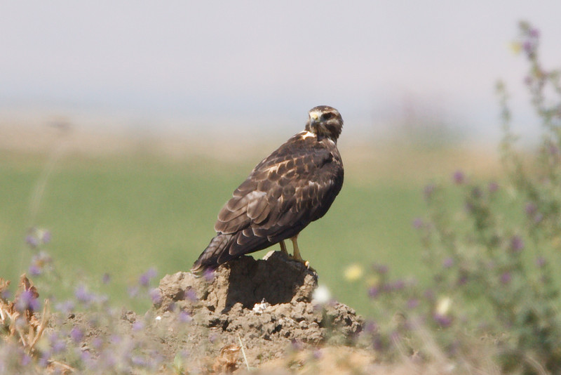 Swainson's Hawk juvenile at Firebaugh, CA (07-18-2009)