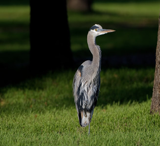 Great Blue Heron of Frenchman's