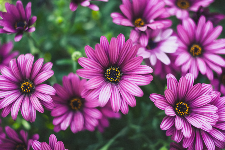 Purple Daisies These are some perfectly bloomed Purple Daises from when I was up near Pismo Beach. Everything is so green and in bloom and colorful up there in the spring. It's so impressive.