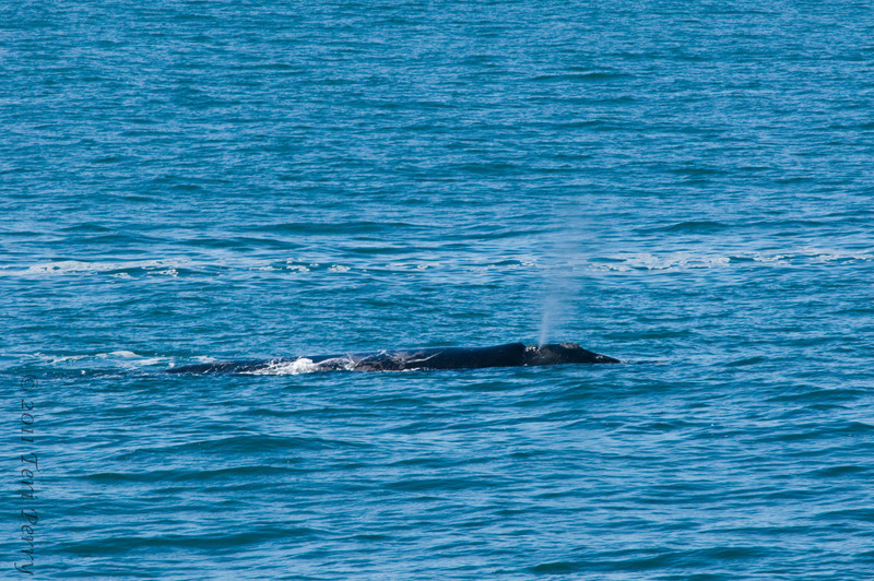 hermanus southern right whale (6).jpg