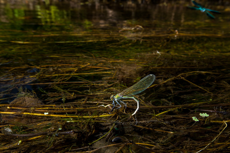 Banded demoiselle laying eggs