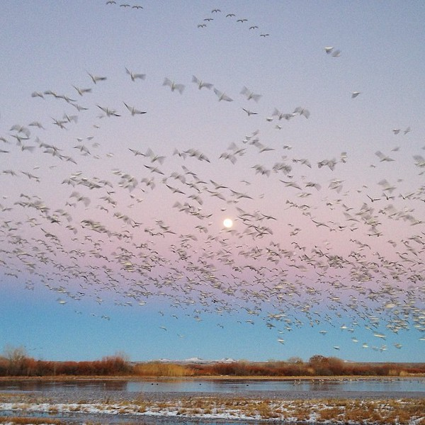 Snow geese flying in at sunset. Funny how they just missed the moon. via Instagram http://bit.ly/1xIilDU