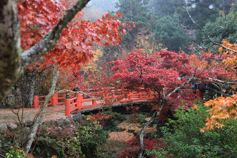 Momoji Tree Japan