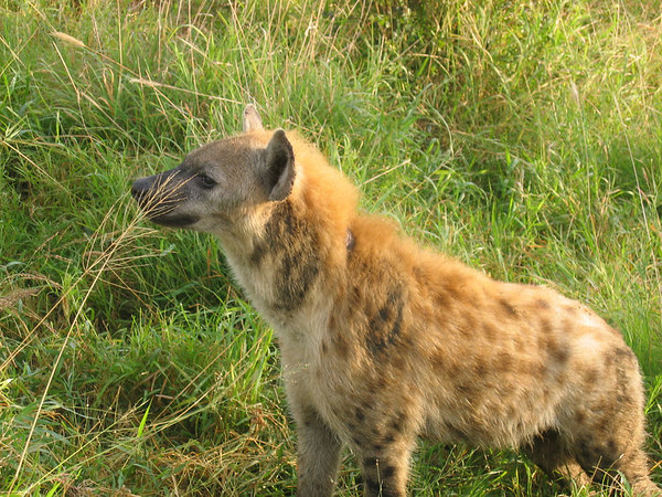 Hyena-rightnexttous!.jpg