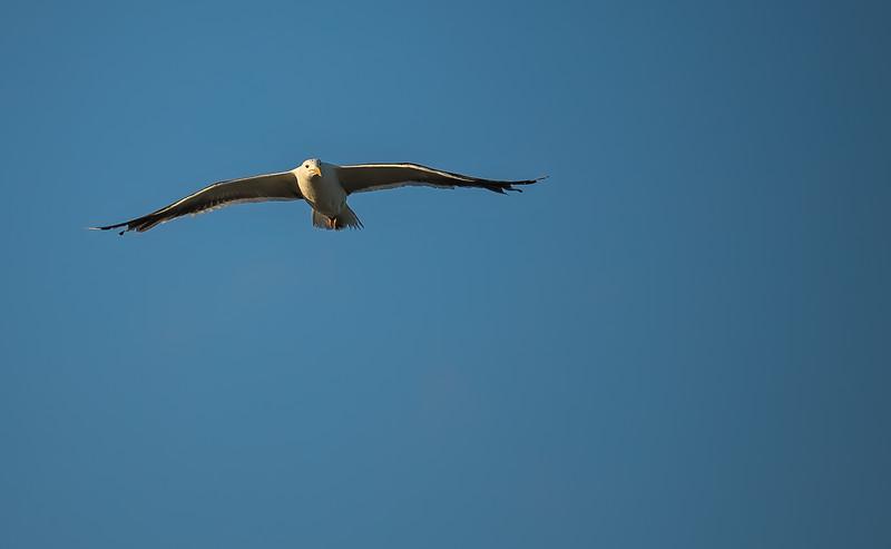 Seagull-003