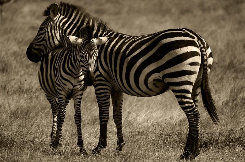 zebra contrast - Copy (1).jpg