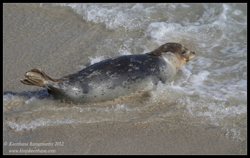 Harbor Seal, La Jolla Cove, San Diego County, California, April 2012