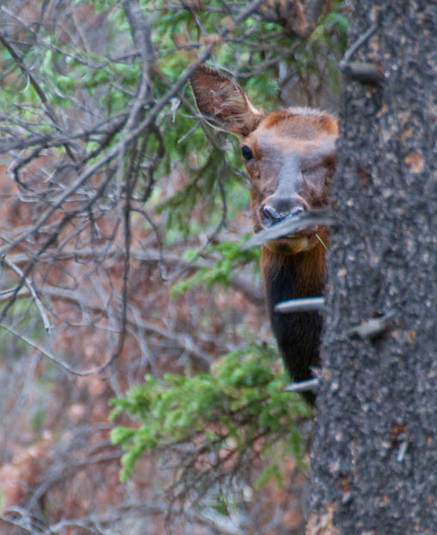 Watchful Eye on the Tourists in Rocky Mountain Natl Park