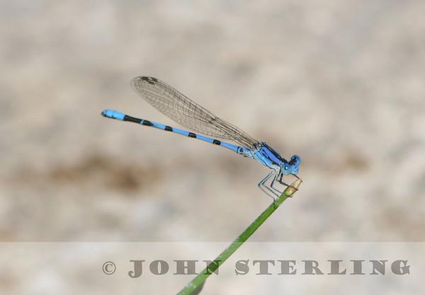 Sterling's Arizona Dragonflies