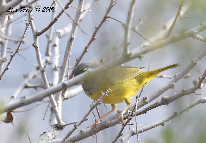 Most of a MacGillivray's Warbler - 4/15/2019 - Agua Caliente County Park Campground