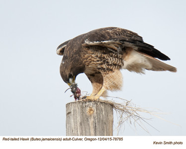 Red-Tailed Hawk A78785.jpg