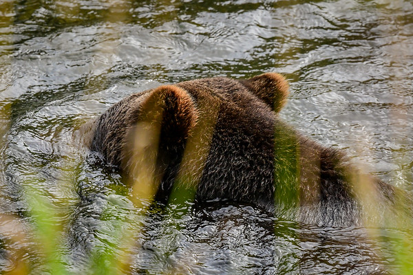 9-28-19 Grizzly Bears Part 5 of 5 Bella Coola