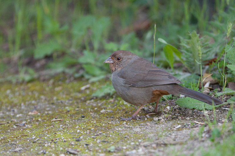 California Towhee - Los Altos, CA, USA