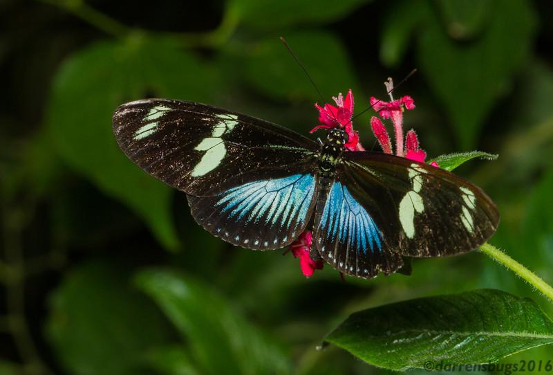Doris Longwing butterfly, Laparus doris, blue morph (Monteverde, Costa Rica).