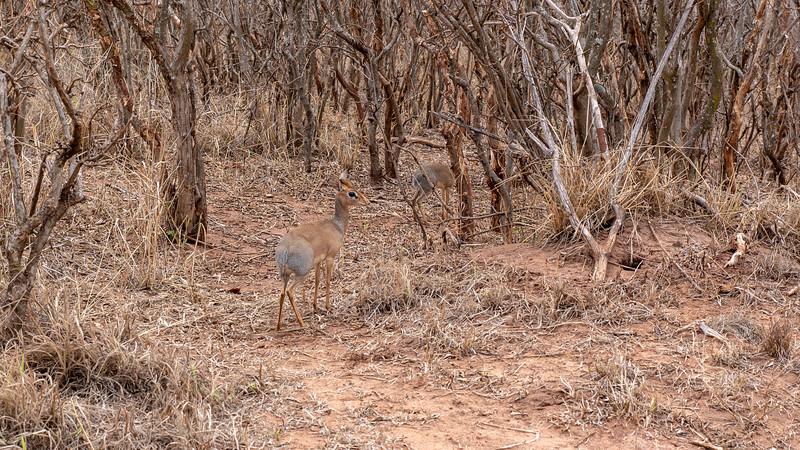 Tanzania-Tarangire-National-Park-Safari-Dikdik-01.jpg