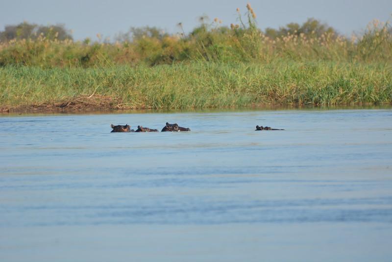 Hippos, Okavango River Near Shakawe, Botswana