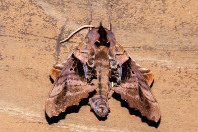 Aug. 11, 2013 - Sphinx Moths