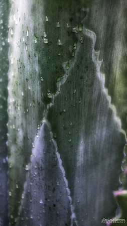 Rough Agave