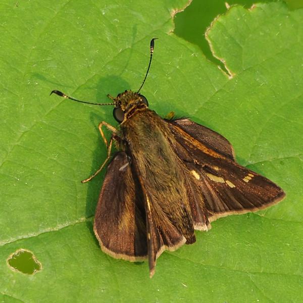 Tawny-edged Skipper, female