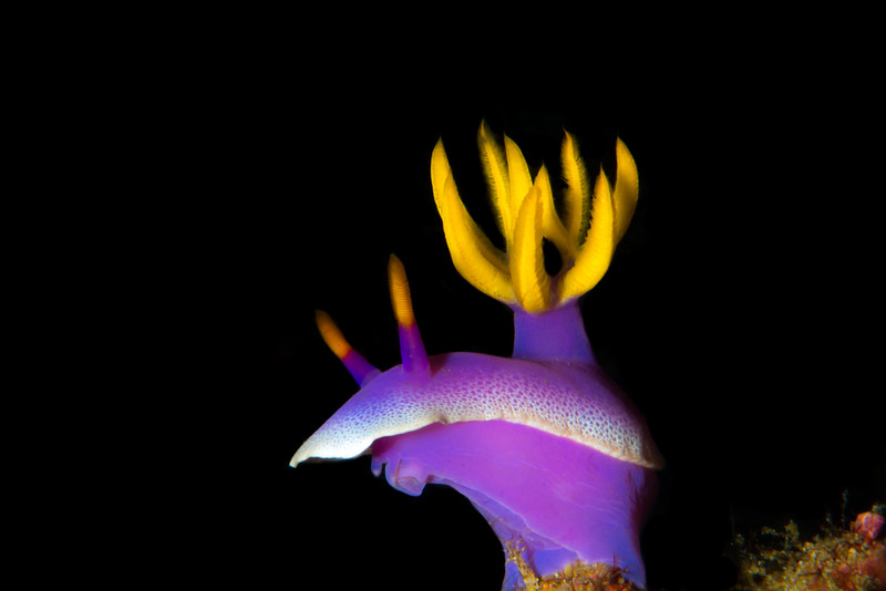 Robe Hem Hypselodoris (Nudibranch), grows to 10 cm