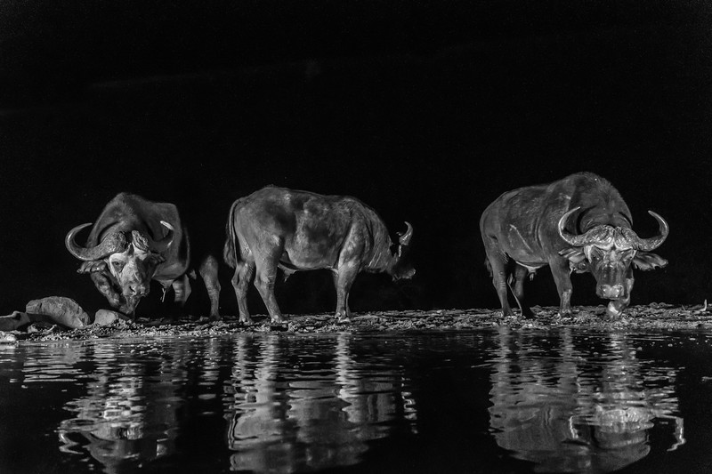 Water Buffalo Night Hide-9223-Edit-Edit.jpg