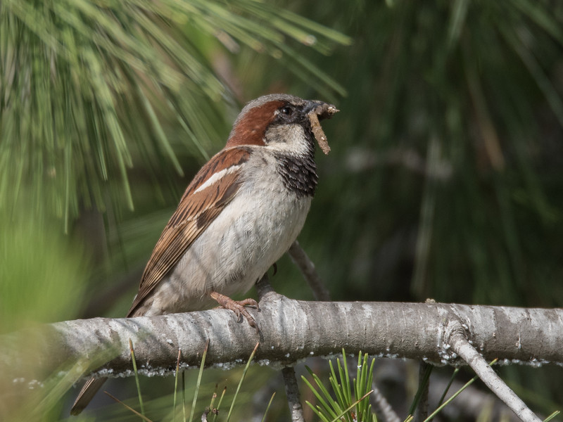 Male House Sparrow with a beak full of caterpillars