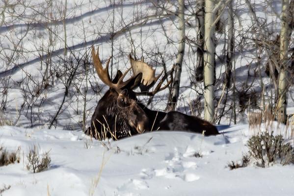 Bull Moose in the Grand Tetons Wyoming