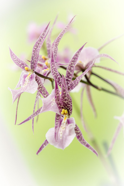 Dancing with Orchids