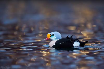 Diving Ducks / Dykänder