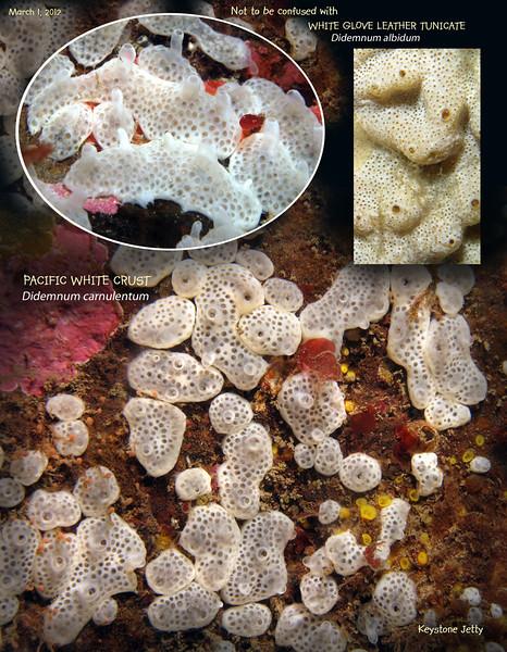 PACIFIC WHITE CRUST  ( Didemnum carnulentum ). Keystone Jetty, Whidbey Island. March 1, 2012