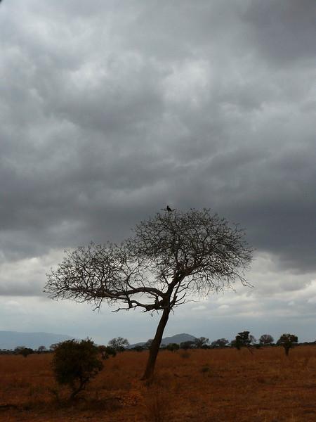 Eagle Tree Tsavo East.jpg