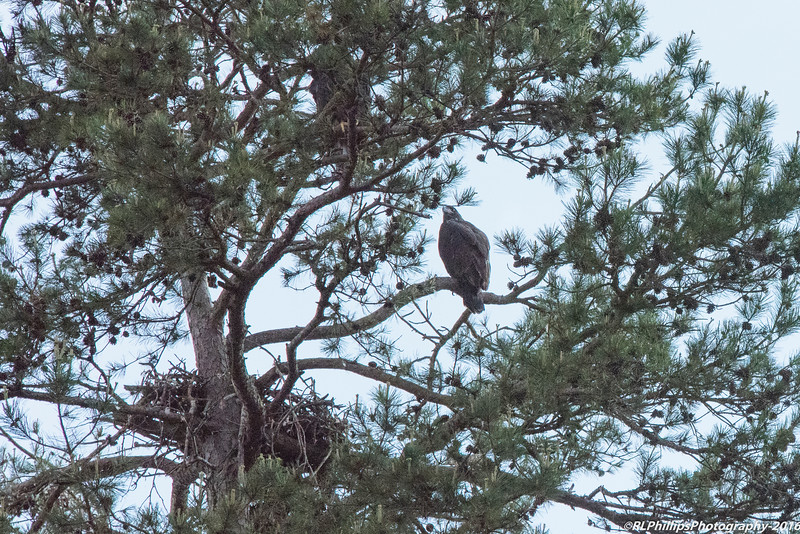 Two Eagle Fledglings sitting in their tree top roost.  Beneath is their nest which looks to be partially destroyed.