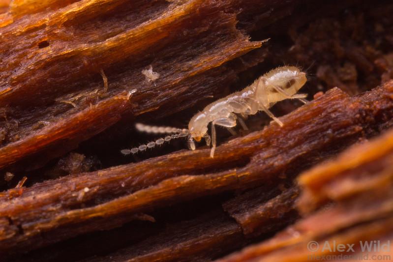 Zorotypus hubbardi