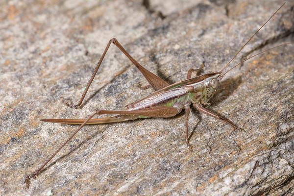 Conocephalus albescens