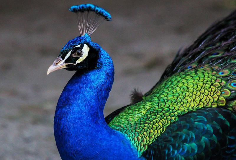 IMG_7786 Peacock at GWG.jpg