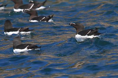 Razorbills - Cape Breton