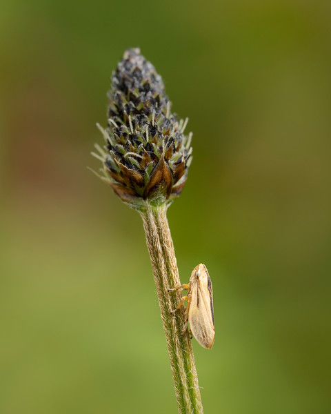 Meadow Spittlebug (Common froghopper)