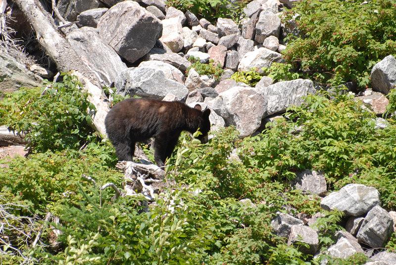 Black bear, Newfoundland, July 2006