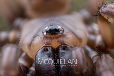 Hexathelidae - (banded tunnel web spiders)