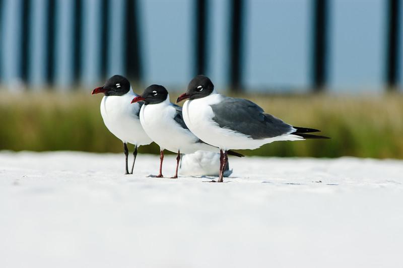 20050416 Destin Beach Birds 041.jpg
