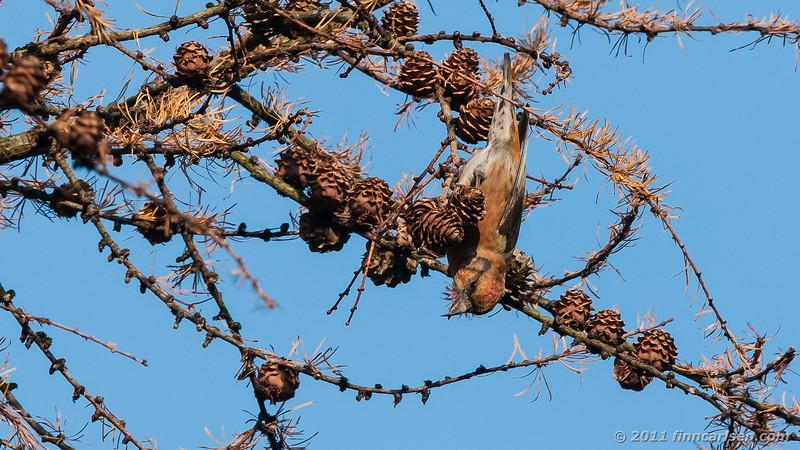 Lille korsnæb - Loxia curvirostra - Crossbill