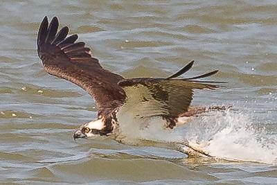Osprey Banding, 2014