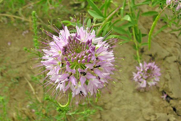 Unknown Pink Flower - Pawnee National Grasslands - Greely CO-01