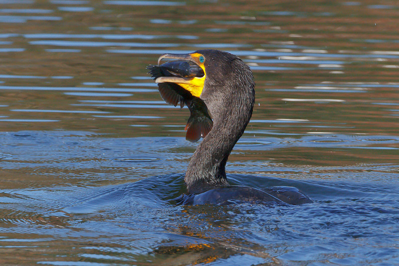 Double-crested Cormorant, Lake Lily, Maitland, FL