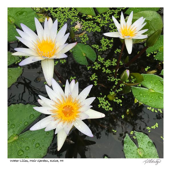 180202_MG_1941 Water Lilies Moir Garden Koloa.jpg