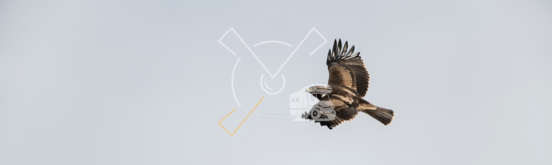 Adult Booted Eagle dark morph in flight with its remarkable landing lights