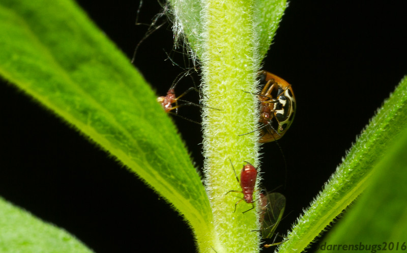 A ladybird beetle (Coccinellidae) feeds on aphids on Iowa.